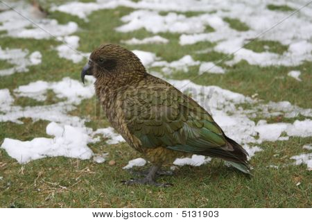 Kea Bird Close-up
