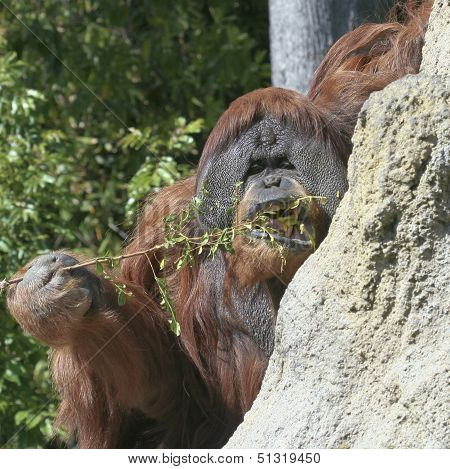 An Orangutan Uses A Stick To Fish For Termites