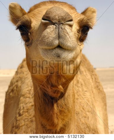 Camel Beauty