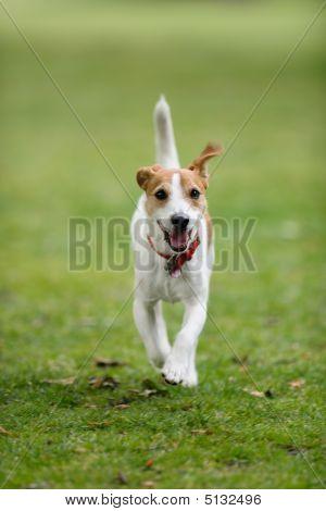 Dog Running Towards Camera