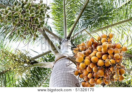 Seed Of Oil Palm