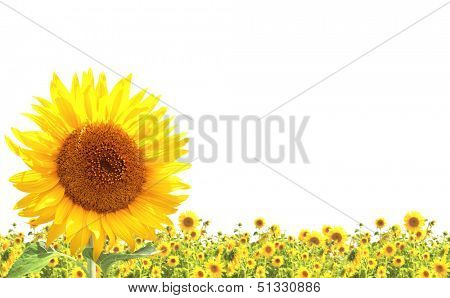 Yellow sunflowers. Isolated over white background