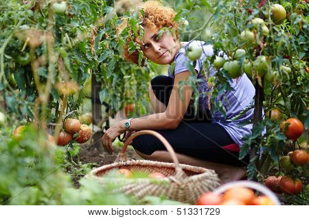 Young Woman Picking Tomatoes
