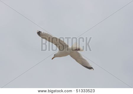 Flying Gull  (larus Argentatus)