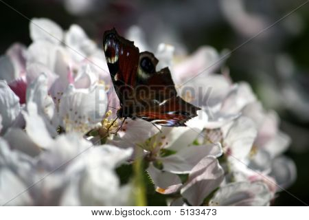 Red Admiral Butterfly On A White Flower