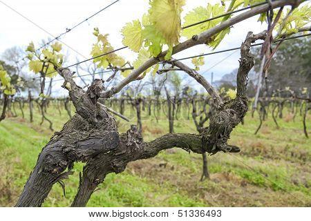 Uruguayan Wine Grapevines.