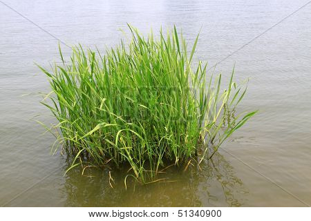 Hydrophyte In A River