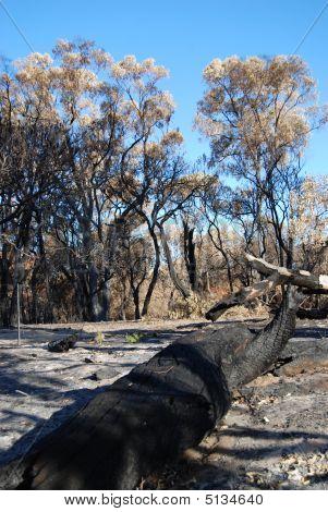 Dead Forest After Bushfire