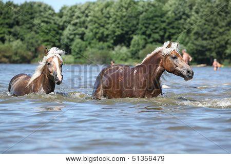 Nice Haflingers In Water