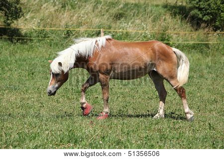 Nice Haflinger With Boots