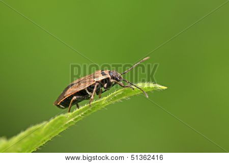 Stinkbug On Green Leaf
