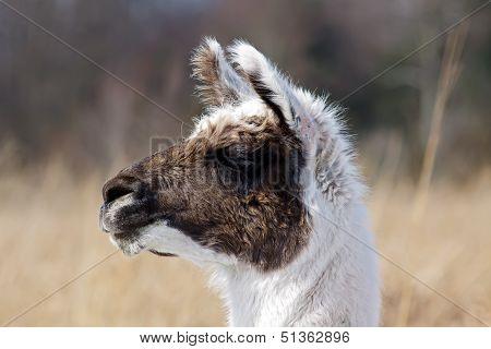 Alpaca Portrait