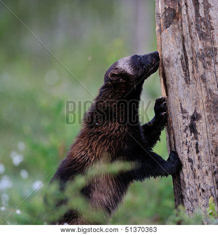 Wolverine Climbing