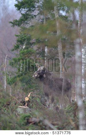 Moose And Felled Trees