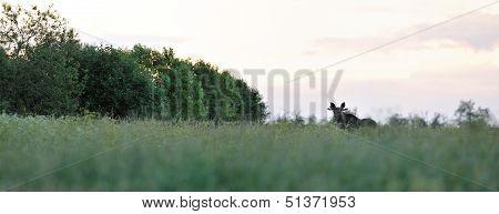 Moose Bull In Summer