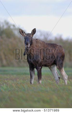 Moose bull in meadow