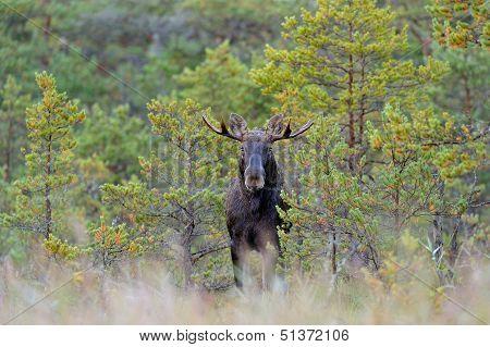 Moose Bull In Bog