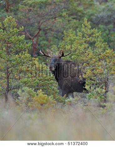 Bull Moose Between Pine Trees