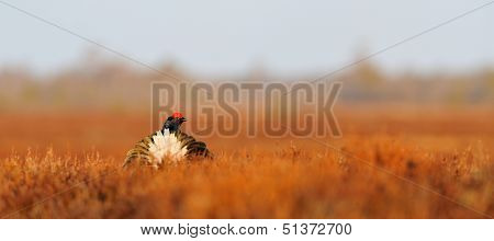 Black Grouse Tail