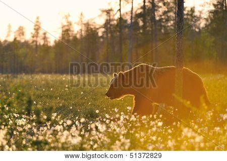 Old Brown Bear (ursus Arctos) Walking In Sunset