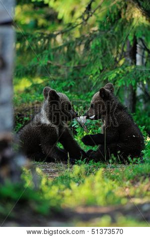 Brown Bear Cubs Playing