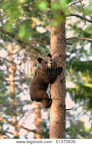 Brown Bear Cub Climb Up A Tree
