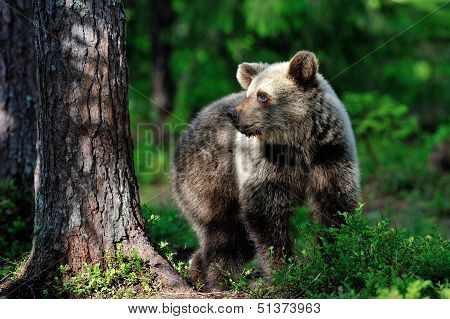 Brown Bear In The Forest At Sunlight