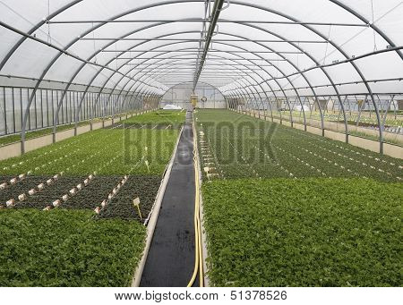 parsley in greenhouse