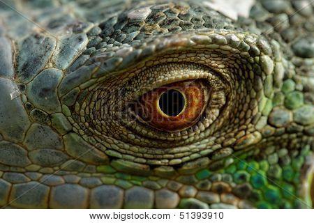 Green Iguana Eye