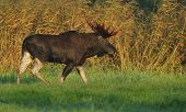 stock photo of horny  - Moose bull walking in the meadow at fall - JPG