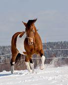 pic of appaloosa  - pinto horse walking in a snowy field - JPG