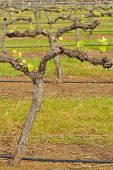 picture of shiraz  - shiraz vineyard in early spring with new shoots just after budburst - JPG