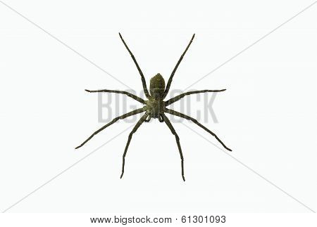Wolf Spiders Lycosa Sp.