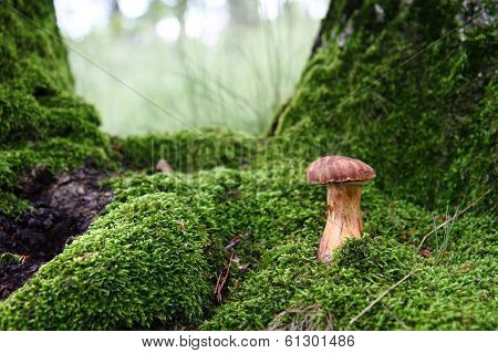 Edible Mushroom In The Green Moss