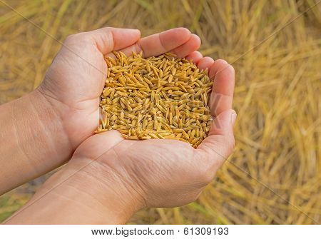Grain Of The Wheat In Hands Of The Person