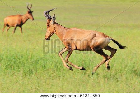 Red Hartebeest - African Wildlife Background - Running Red Speed