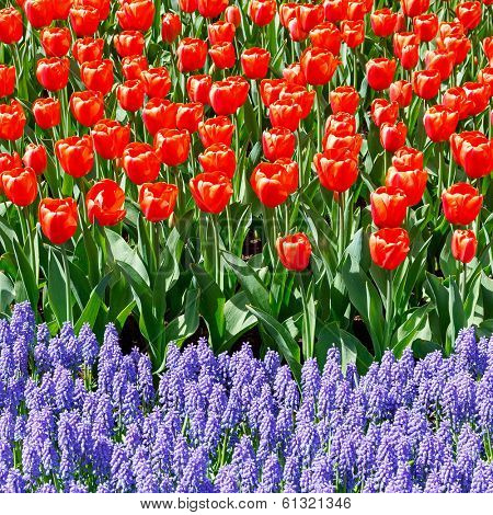 Tulips and bluebells in the spring garden