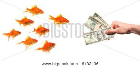Group Of Goldfish Lured By Hand With Money