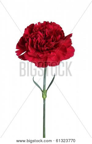 Red carnation flower cut out on white background