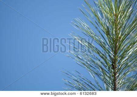 Evergreen On Blue Border