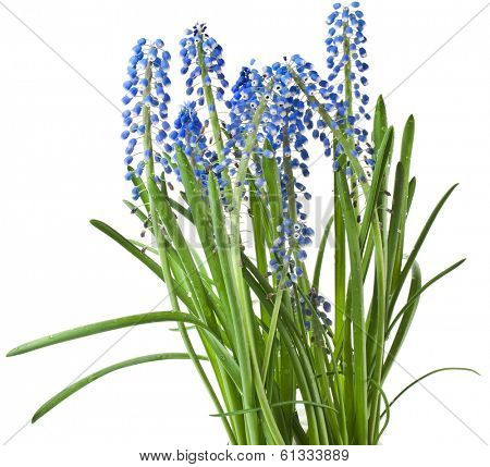 Blue Spring flowers Muscari Isolated on white background