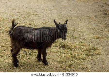 Black Young Pygmy