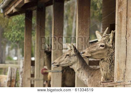 Fallow Deers