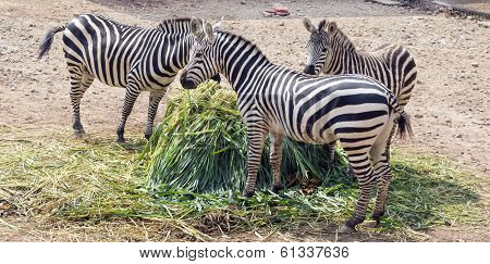 happy zebra family