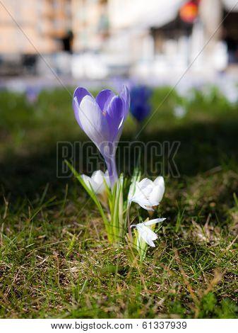 Closeup Of Purple Crocus In The Spring