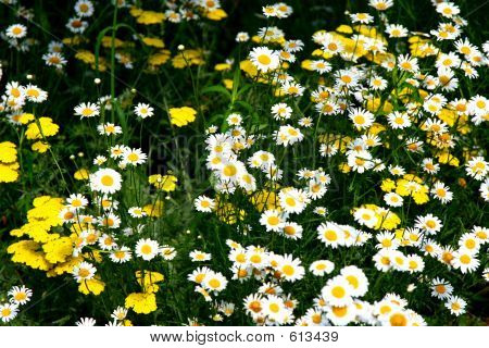 Field Of Daisies