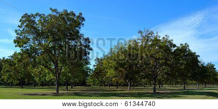Young Pecan Orchard 2