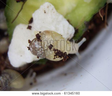 Young snail Achatina