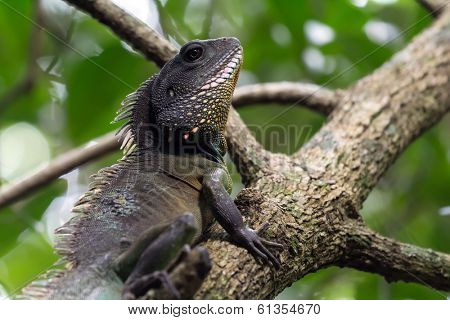 Chinese Water Dragon (Physignathus cocincinus), standing in tree branches, Thailand