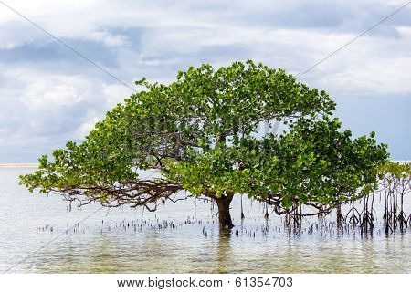 Beautiful mangrove tree growing on the seashore standing submerged in the sea water with its lush green canopy of spreading branches and leaves under a cloudy blue sky